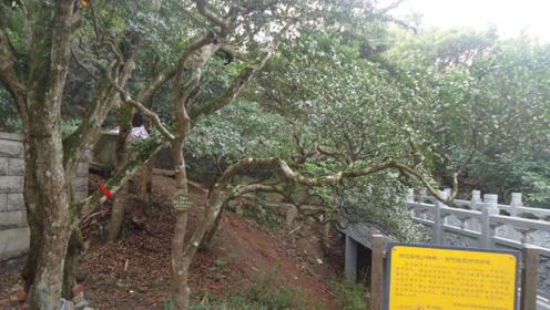 世界上最珍稀的树,价值等比黄金,全世界仅中国有一棵!