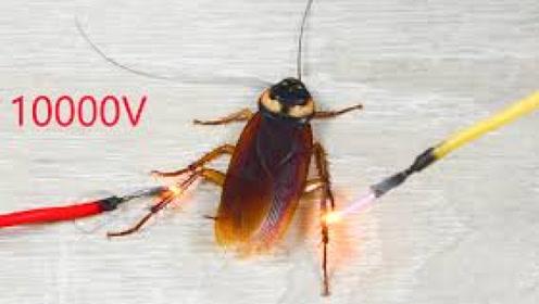 将10000v高压电接在蟑螂身上,会发生什么呢?结局让人意外