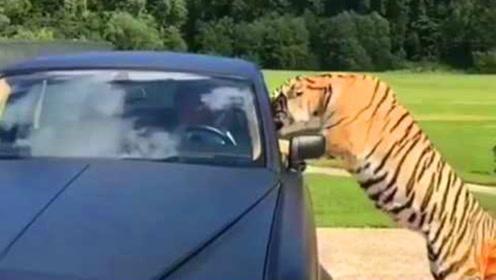 战斗民族的宠物你永远想不到,大叔开劳斯莱斯出门,跳上来只老虎