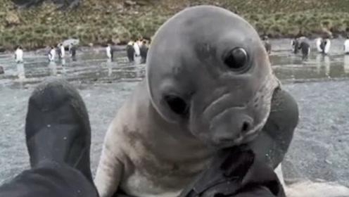 小海豹抱住男子的脚嗅了嗅,咬了一口之后,海豹直接翻了过去