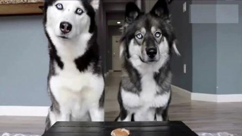 只剩下一块饼干,两只狗狗是什么反应?狗:说好的好兄弟呢