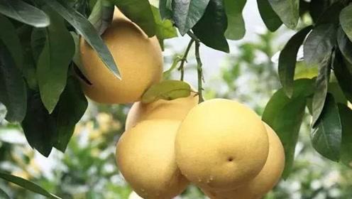 多吃柚子清热去火,但是挑选有要诀