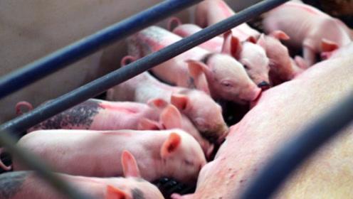 美国为什么能成为世界第一养猪大国?一个人轻松养猪3000头