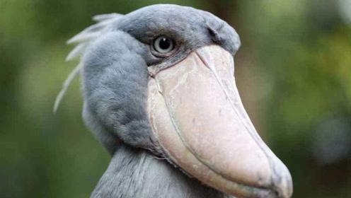 它会拔自己的羽毛送人,是世界上最作的鸟