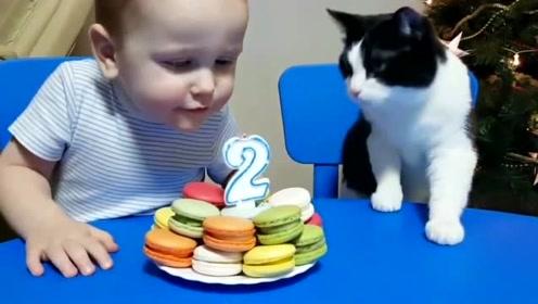超可爱的小奶牛猫,一起给小主人庆祝生日