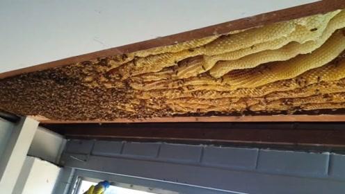 家中天花板内惊45公斤巨型蜂巢 网友:我怎么碰不到这好事