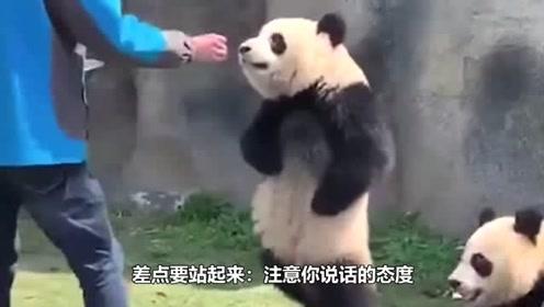 成精了!为了一口吃的熊猫直接学会了人类走路