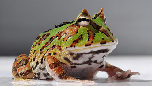 养蛙新手必看!角蛙的正确饲养方法