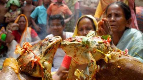 """印度又""""开挂"""",给青蛙办婚礼是为求雨,网友:活得不如青蛙!"""