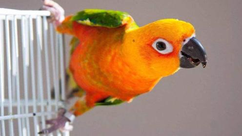 鸟中哈士奇!可爱宠物鹦鹉的沙雕日常!主人都被萌化了!