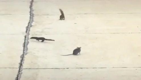 黄鼠狼差点抓到老鼠,不料被松鼠搅了局,怎么个情况!