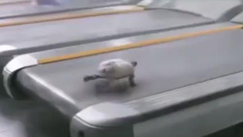 乌龟真的跑不快吗?把乌龟放跑步机上,接下来的画面忍住不要笑