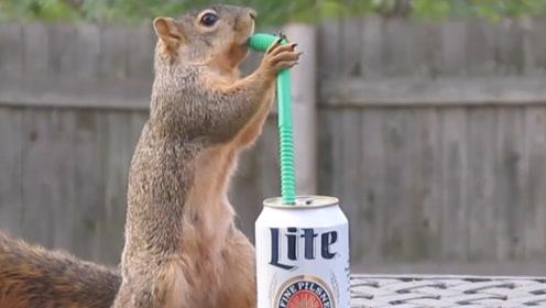 松鼠偷偷喝了一罐啤酒,接下来发生的一系列反应,看完忍住别笑