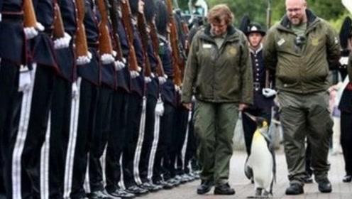 世界上地位最高的企鹅 、甚至连军官见了都要行礼