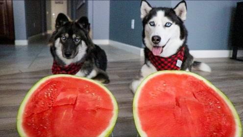 哈士奇比赛吃西瓜,实力表演看着碗里望着锅里,果然别人的更好吃