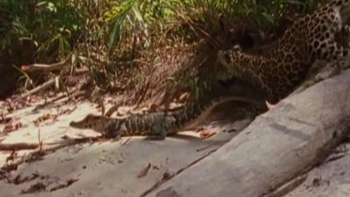 美洲豹偷袭睡觉的鳄鱼,鳄鱼仅用一招,美洲豹慌忙逃跑!