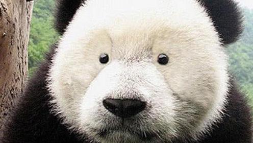 为什么只有熊猫的脸上有黑眼圈,其他相似的物种脸上都没有呢?
