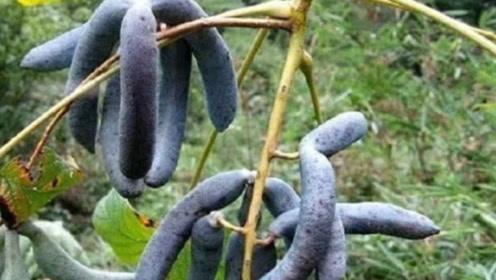 这种水果在古代是贡品,但是外观太恶心很少有人敢吃