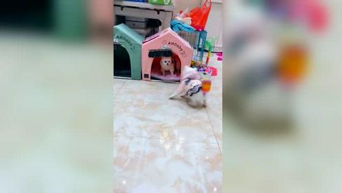 惹媳妇生气了,连窝窝都不让进了,小可怜!