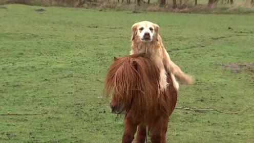 金毛想学主人骑马,马儿却不愿意,接下来的一幕主人笑喷了!