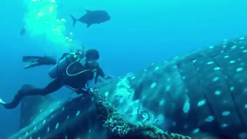 巨大的鲸鲨被绳子缠住,人类冒险去解救,绳子松开的那一刻暖心了