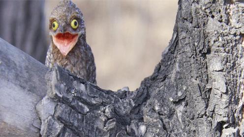 最会伪装的鸟,为躲避天敌假装自己是枯枝,一装就是一辈子