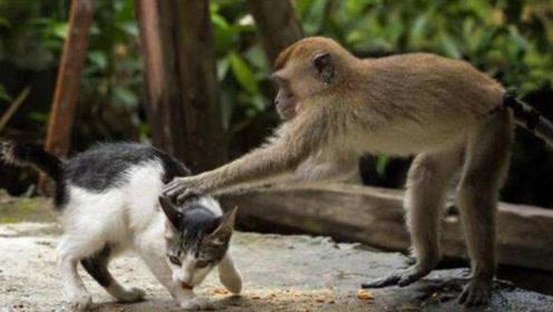"""猴子把奶猫当成""""坐骑"""",被猫麻麻一顿""""胖揍"""",下一幕出乎意料"""
