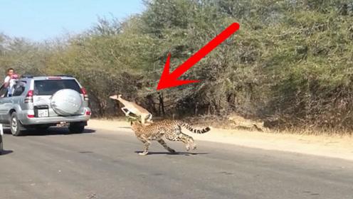 一只羚羊被猎豹追杀,情急之下坐上救命的顺风车,果真是机智!