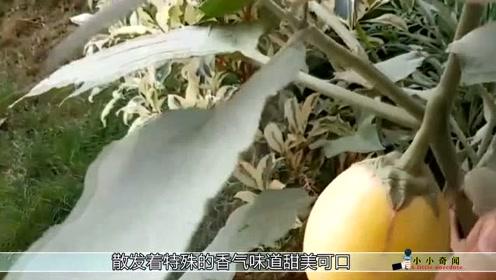 长在树上的鸡蛋它可是口香糖的重要原材料,有的一家人靠它生活!