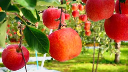 世界上最大的苹果,水果界的翘楚,最大的一个卖800元