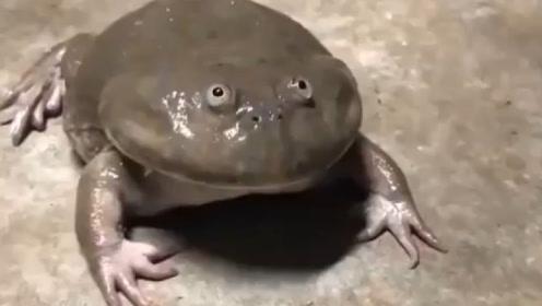 """世界上脾气""""最大""""的青蛙,男子当宠物养,它却将主人当""""敌人"""""""