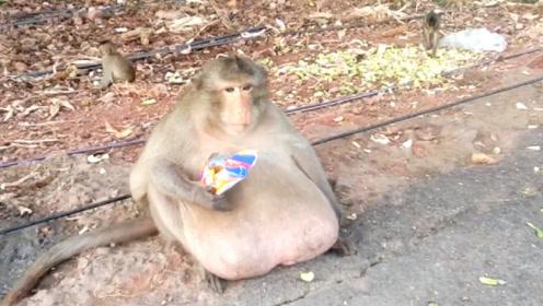 """猴子贪吃长成""""二师兄"""",如今变成这德行,依旧是猴群中最靓的崽"""