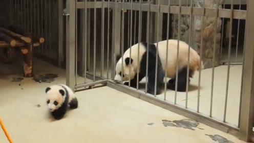 """小熊猫""""越狱""""被奶妈发现,熊猫妈妈的反应看了让人忍不住大笑"""