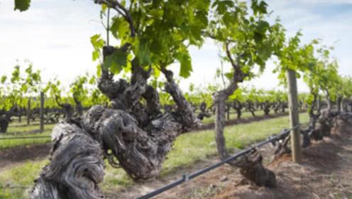 """世界上最""""古老""""葡萄树,树龄已达176年,每年高产7吨葡萄!"""
