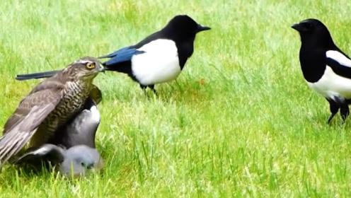 老鹰捕到鸽子正要开吃,喜鹊赶来闹事,镜头拍下全过程