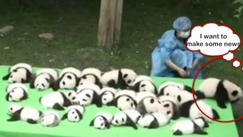 饲养员把熊猫宝宝当白菜晒,其中一只吸引众人:生着生着没墨了!