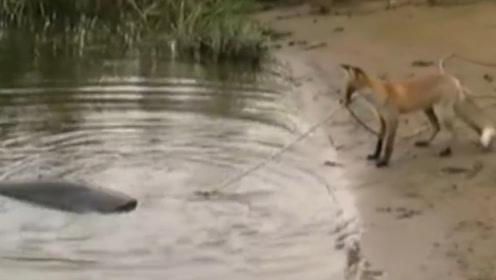 狐狸这是要逆天了,能自己用绳子钓鱼,钓上的鱼比自己还大