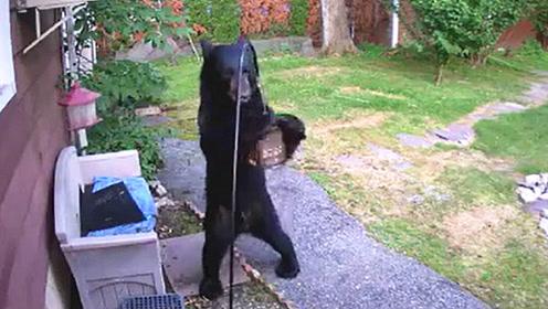 黑熊闯入民居家偷吃鸟食,竟被狗狗一脚踹飞,镜头拍下搞笑瞬间