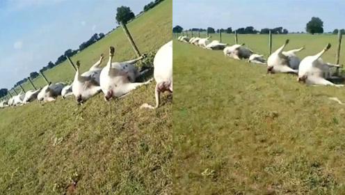 闪电劈中农场围栏,23头牛触电身亡,网友:一家人就要整整齐齐