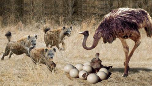 刚出生的小鸵鸟被鬣狗盯上,鬣狗正要下口时,回头一看却拔腿就跑