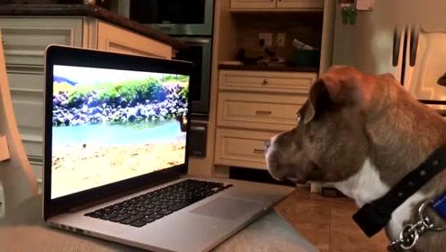 一只爱看视频的狗狗,感觉可以盯着屏幕一整天