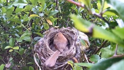 最迷你的鸟窝,仅能放一枚蛋,看完真是被萌到了