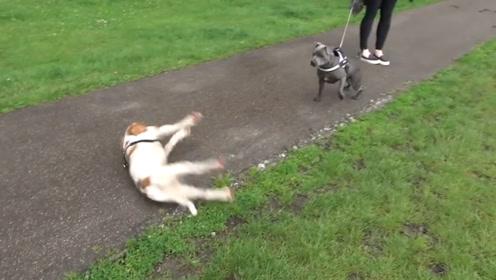 狗狗出门遛弯时,突然四肢僵硬倒地,网友:日常练习碰瓷?