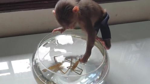 主人买虾逗小猴子,接下来憋住别笑,太低估小猴子的智商了!