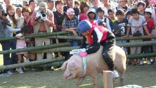 """日本爆笑""""骑猪""""大赛,被猪拱得满天飞,根本停不下来"""