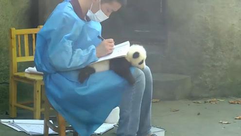 饲养员要写字,熊猫宝宝秒变桌子,那可是国宝!