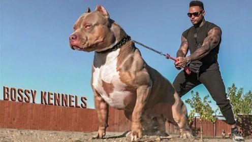 为何比特犬列为禁养犬,究竟有多凶猛?看完一身冷汗!