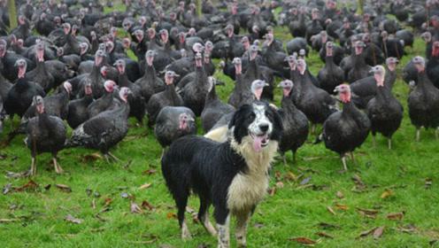 这只牧羊犬火了,放牧10000只火鸡,网友:干了五个人的工作