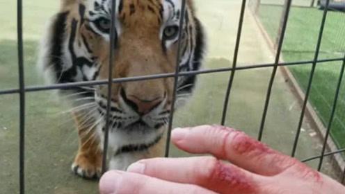 家养的老虎闻到主人的血,会有怎样的反应?结果让所有人意外