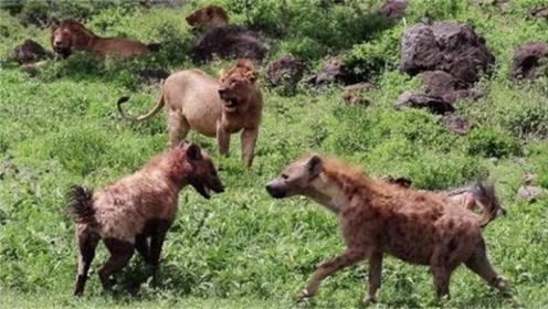 当鬣狗群和狮子群相遇,会发生什么?镜头记下全过程!